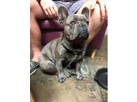 FOR SALE: Blue/Brindle Male French Bulldog with Pedigree and KC cert