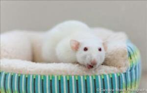 """Adult Female Small & Furry - Rat: """"Libby With Lyla"""""""