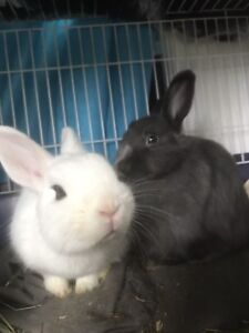 Two Rabbits to go to a good home