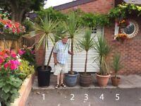Palm Trees - Cordyline Australis Indivisa