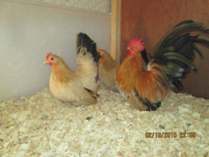 Good Quality Japanese Bantams
