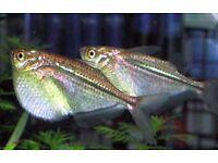 SILVER HATCHET FISH TROPICAL FISH