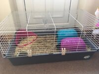 Two guinea pigs with large indoor cage