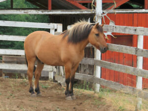 Beautiful, Fjord / Quarter Horse cross