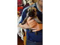 KC Cairn terrier puppies