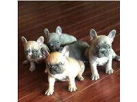 French bulldog puppies 16 weeks old
