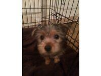 Yorkshire terrier puppy (boy)