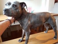 1yr old pedigree blue staffy with paperwork. Female and un neutered.