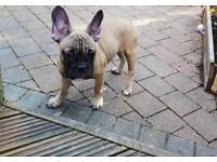 French bulldog male puppy 4 months