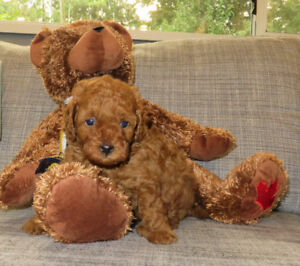 All Sold CKC Red toy poodle puppies