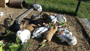 Young meat rabbits for sale