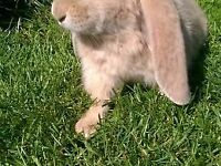 Adorable fawn French lop boy