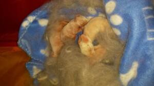 """Adult Female Rabbit - American-New Zealand: """"Vienna and Lily"""" Cambridge Kitchener Area image 3"""