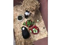 Two male brothers - guinea pigs - and hutch