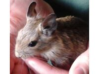 Female degu pups