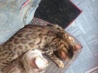Three Rosetted Bengal Kittens