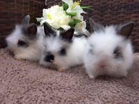 Purebred DM Baby Rabbits
