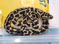 Carpet Pythons, Morelia spilota, CB2017