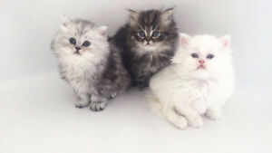 Ragdoll-Persian kittens for sale - Extra fluffy!