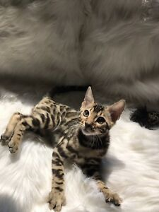 Exotic registered Bengal kittens ready to go