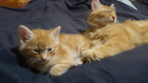 Low Allergenic Siberean-X-Ginger Kittens (will be vaccinated)