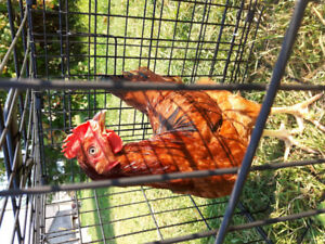 Rhode Island Red cockerels for meat