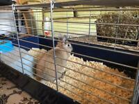 Rabbit with indoor cage for sale