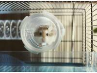 Free male roborovski hamsters (with cages, food etc)