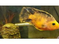 Orange and black parrot fish for sale
