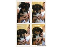 Jackhuahua puppy last of litter stunning Jackchi