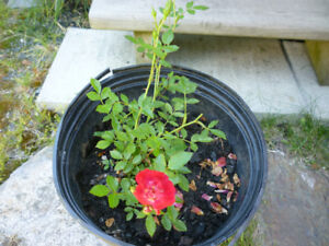 Red Roses (Groundcover)