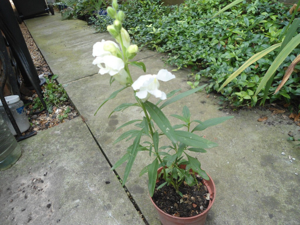 Plant for sale a white flower snapdragon plant in a 9 cm pot in plant for sale a white flower snapdragon plant in a 9 cm pot mightylinksfo