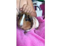 Bonded pair of Guinea pig males for sale, with cage and accessories