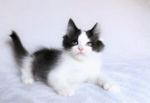 Ragdoll cross kittens are available for adoption.