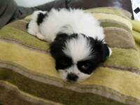 Lhasa apso male puppy