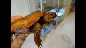 Geoemyda spengleri black breasted leaf turtle