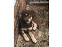 Husky cross pup for sale