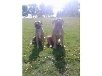 Presa Canario cross stunning pups