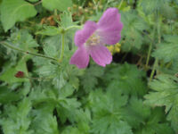 Plants for sale-Hardy geraniums plants
