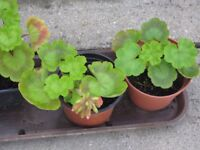 GERANIUM PINK SMALL PLANTS FOR PLANTING OUT OR FOR A TUB