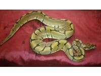 Female spider royal python for sale