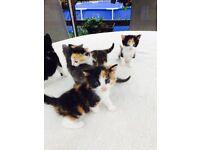 5 X Beautiful Kittens