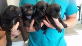 3/4 Pugs for sale