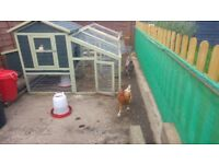 ****FREE TO COLLECTOR** 2 laying chickens plus coup