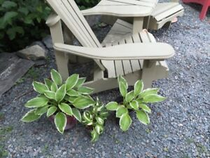 Three well established hostas