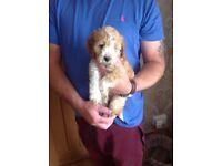 Beautiful Girl Cockapoo puppy