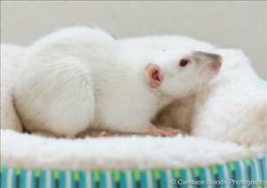 "Adult Female Small & Furry - Rat: ""Lyla With Libby"""