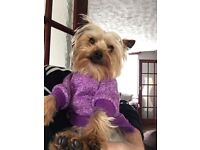 Yorkie female for sale