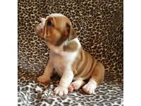 Stunning kc reg bulldog pups for sale