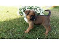 Brussel griffon puppy